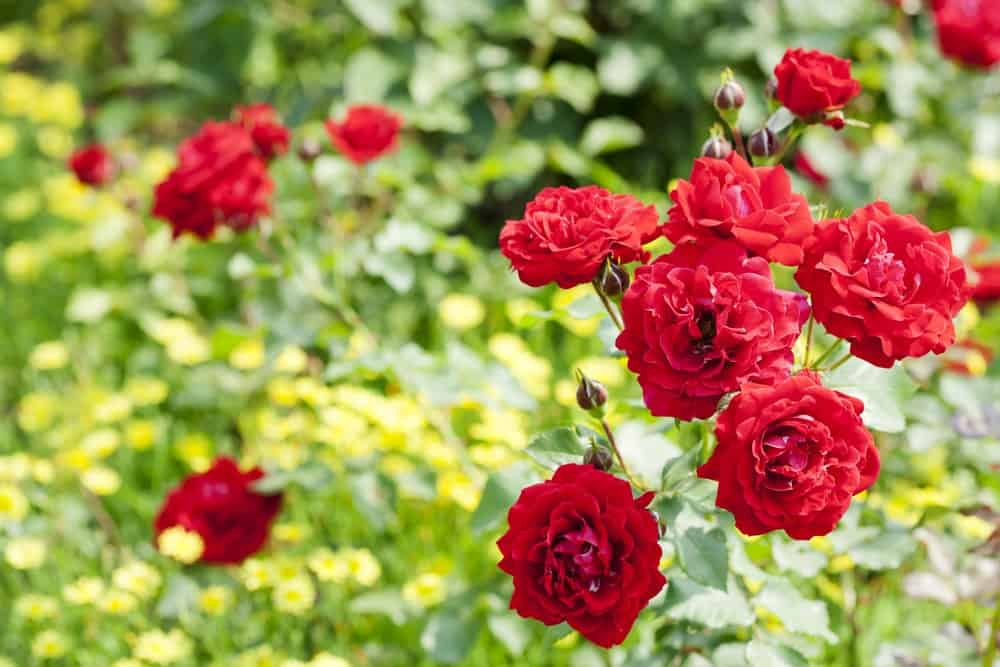 22 Different Types Of Roses For Your Yard