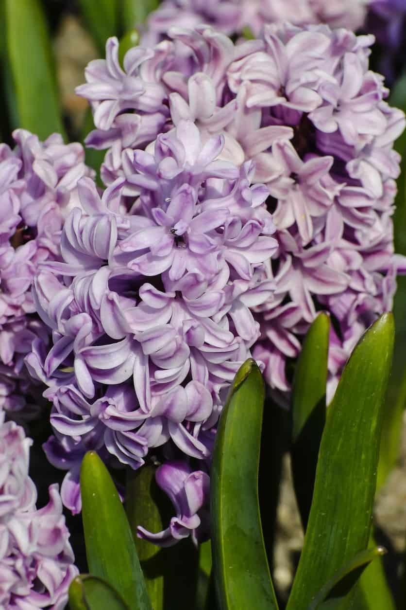 Splendid cornelia hyacinth