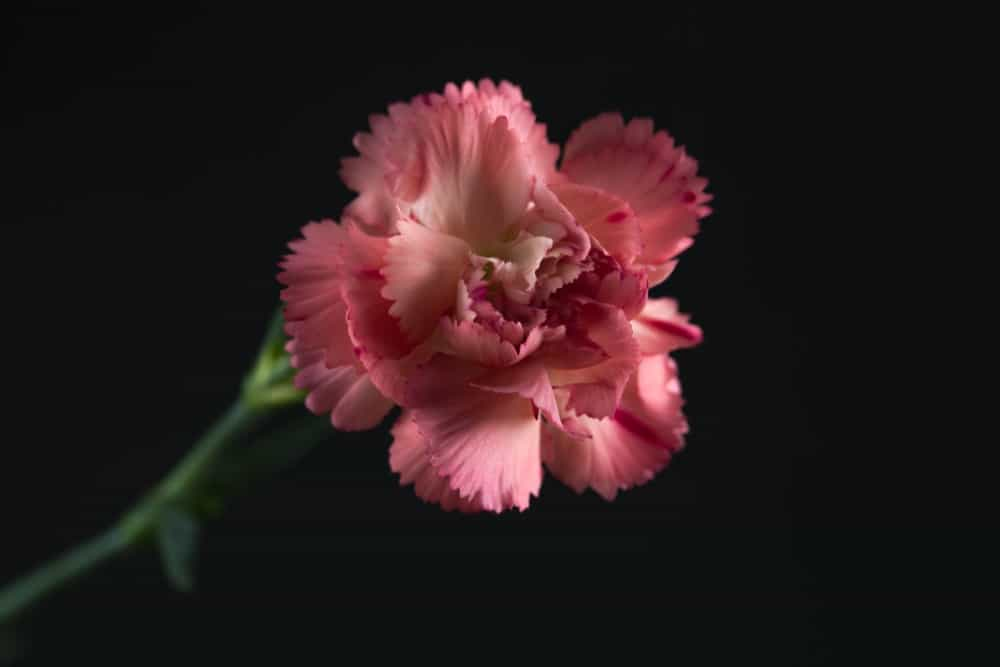 Spray carnations