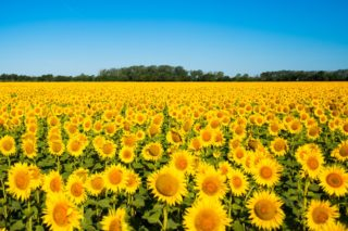 33 Different Types of Sunflowers and Why You Should Grow Them