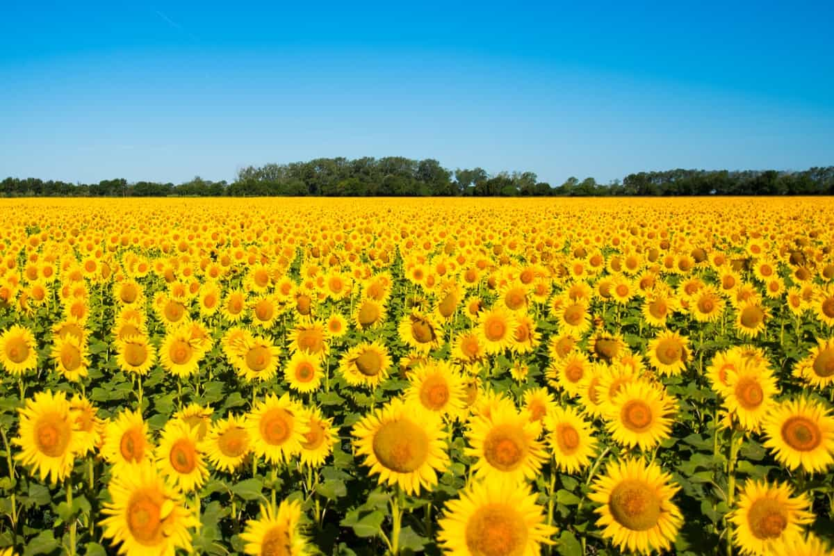 Sunflowers in an open field.