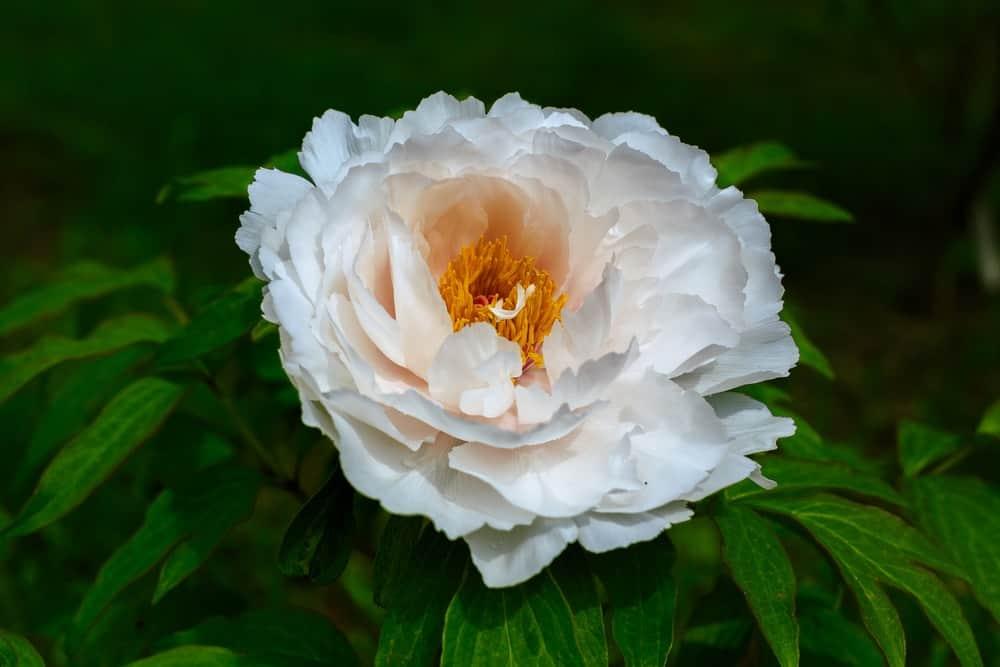 31 Types Of Peonies All Colors Bloom Types And Varieties