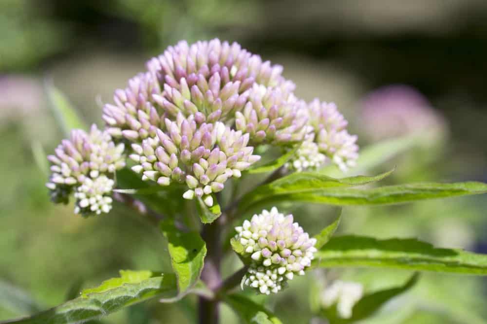 Valerian plant.