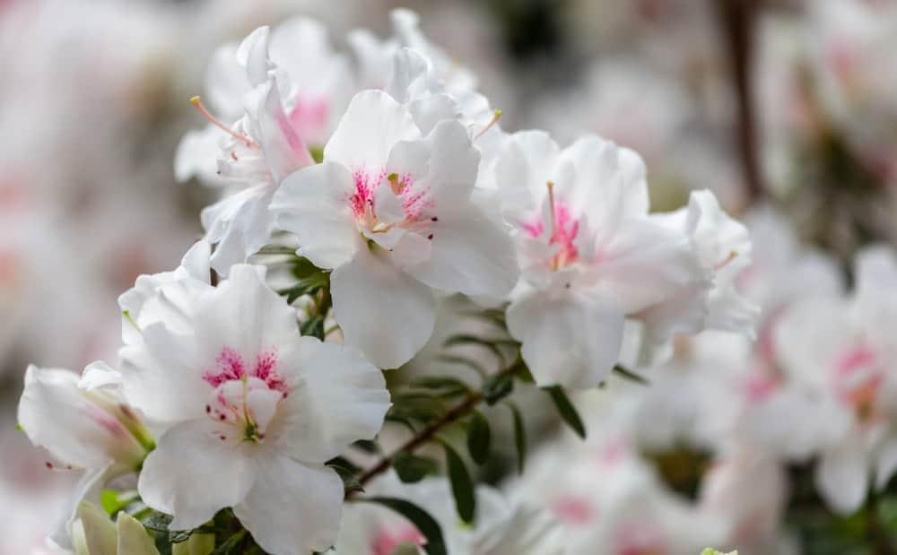 White group azaleas