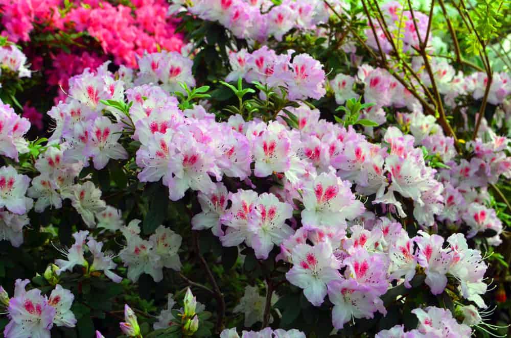 White and light pink azaleas.