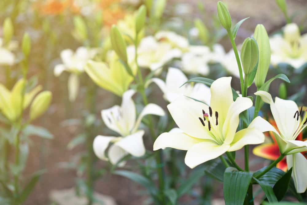 40 Different Types Of Lilies For Your Garden