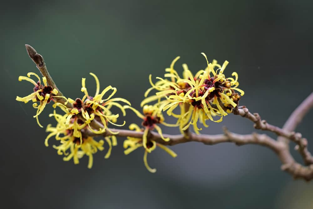 A close up of Witch Hazel.