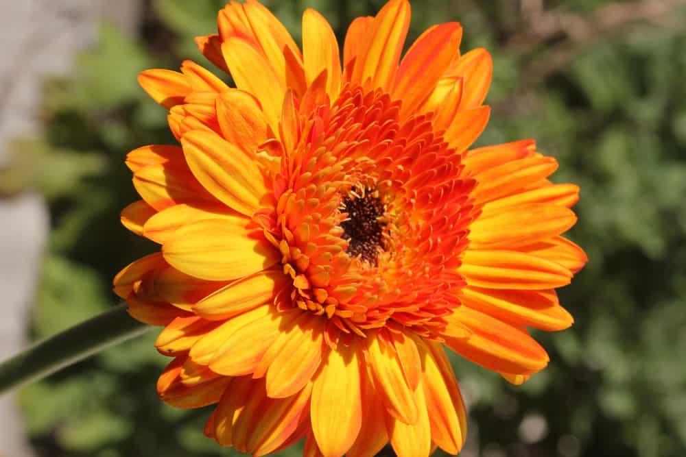 Gerbera jamesonii Transvaal daisy