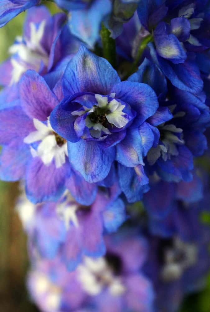 Guardian blue delphinium