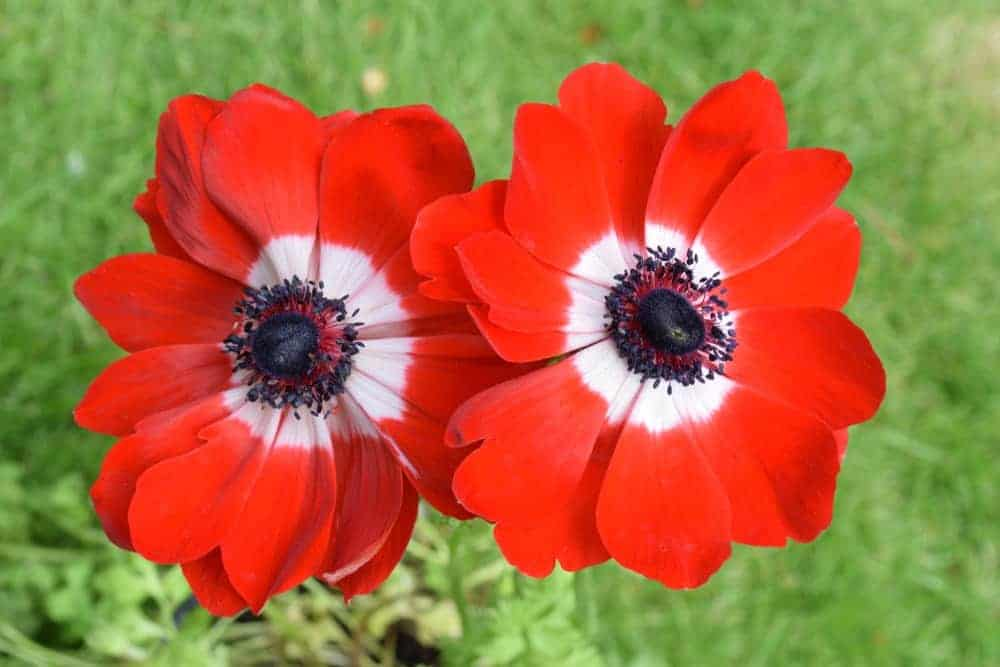 Hollandia anemone