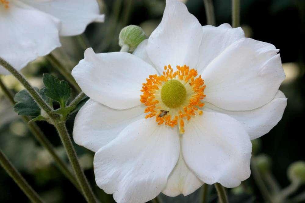 Honorine Jobert anemone