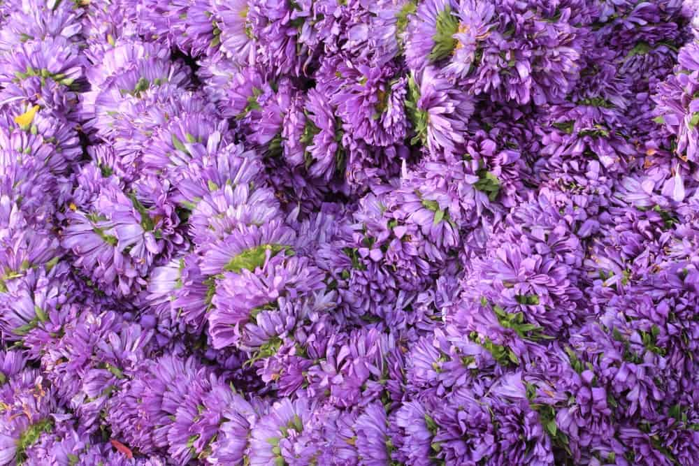 KICKIN lilac blue aster