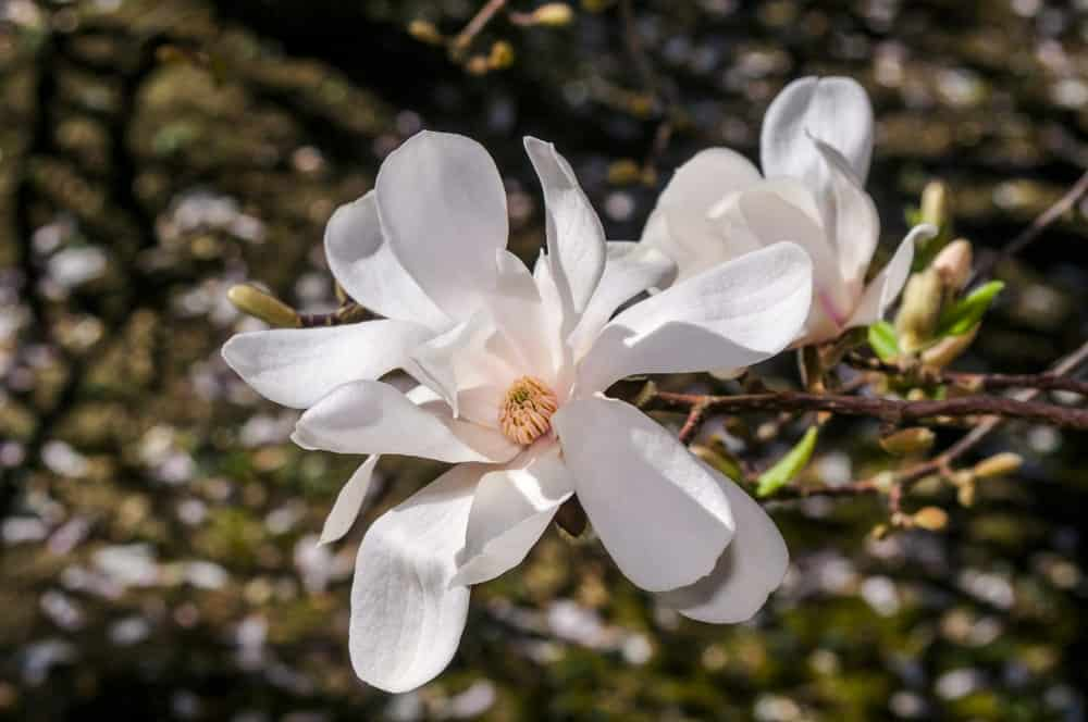32 Different Types Of Magnolias