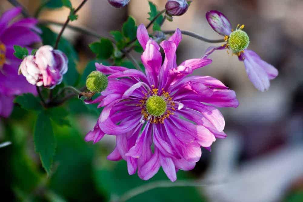 Pamina anemone