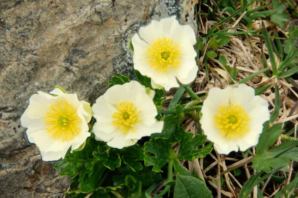Ranunculus cortusifolius