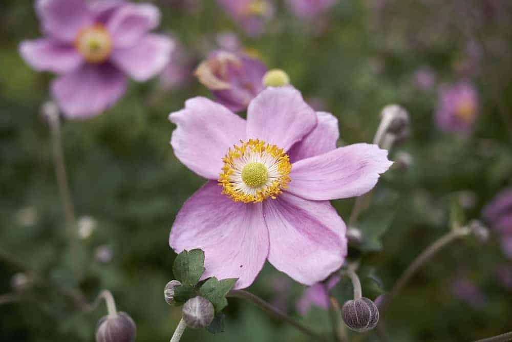 Rosenschale anemone