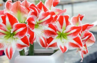 32 Different Types of Amaryllis Flowers Plus Fun Facts