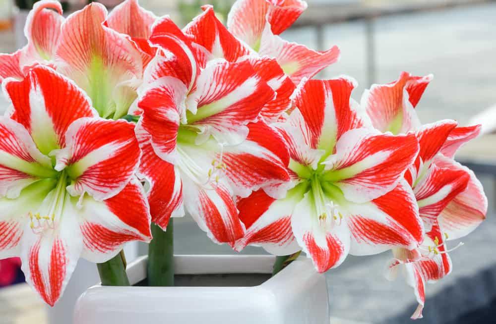 Close up of amaryllis flowers.