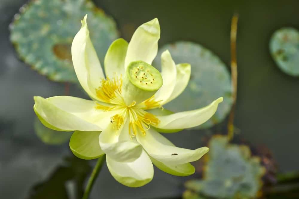 36 different types of lotus flowers american lotus flower mightylinksfo