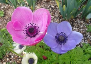 29 Different Types of Anemone Flowers and Fun Facts