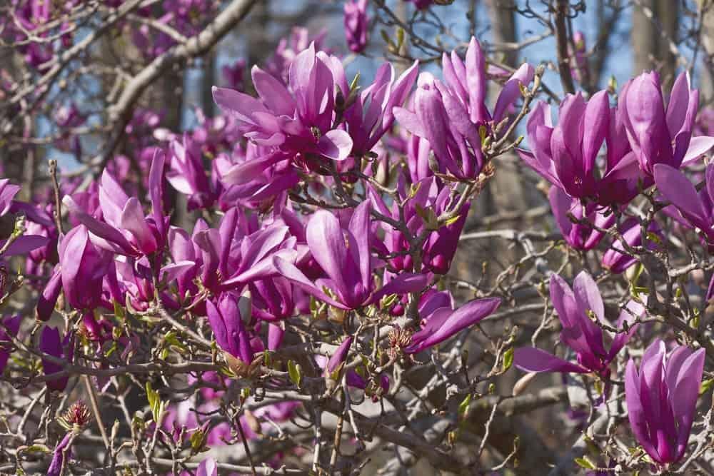 Ann magnolia