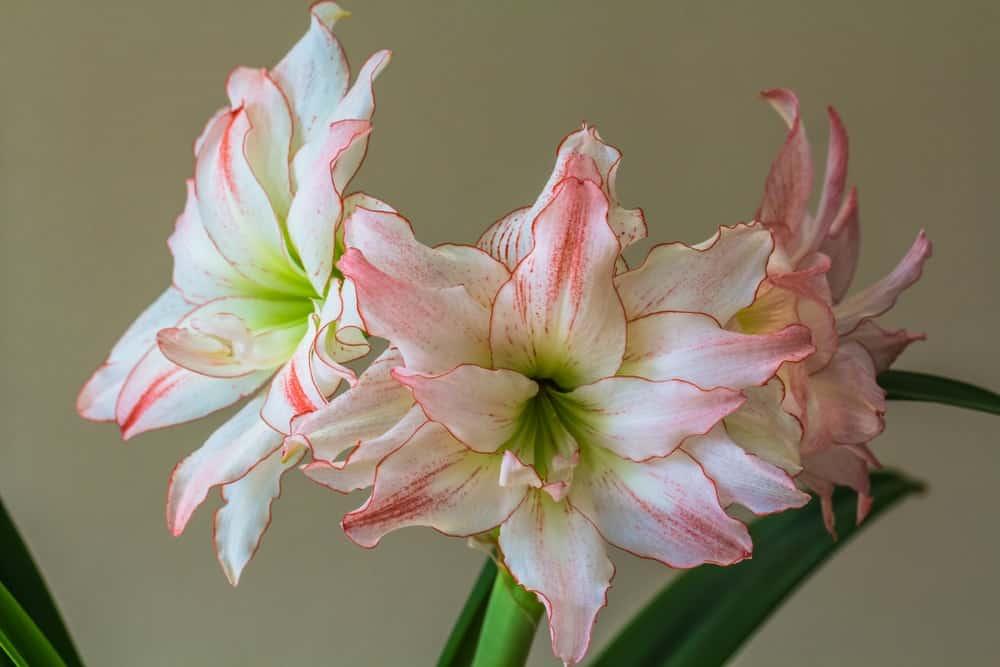 Aphrodite amaryllis