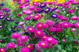32 Different Types of Aster Flowers for Your Garden