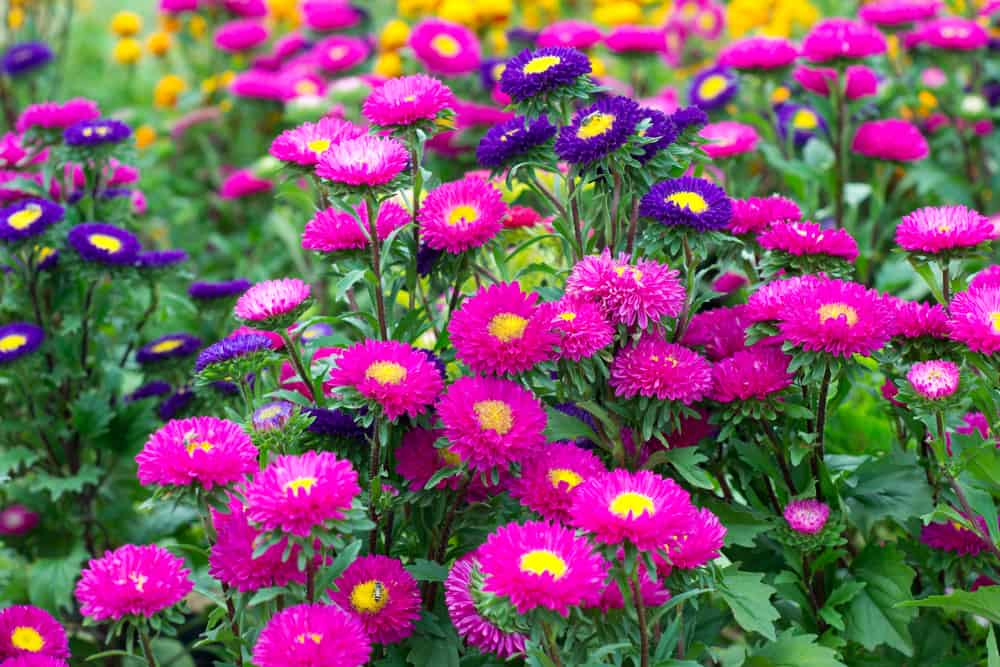 A field of colorful aster flowers.