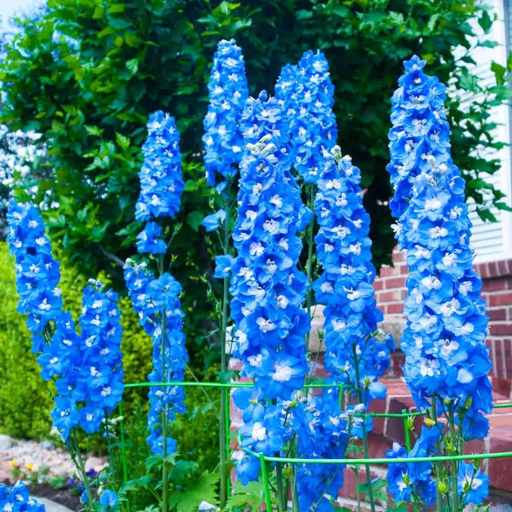 Aurora Blue delphinium