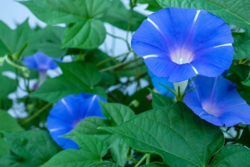 35 Different Types Of Morning Glory And Other Interesting Facts