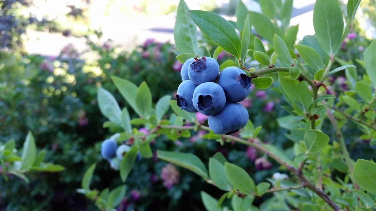 Blueberry fruit plant.