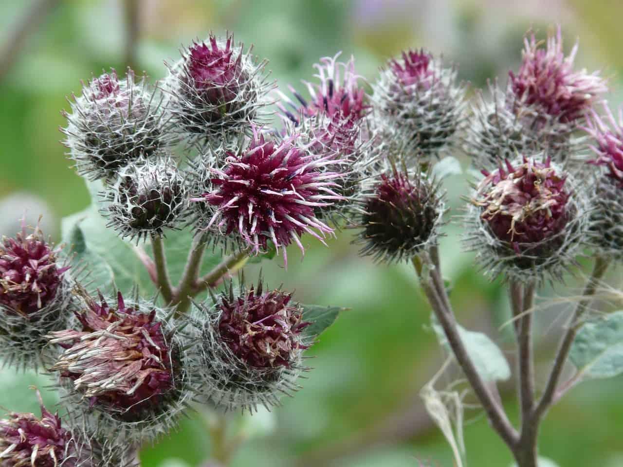 Burdock plant.