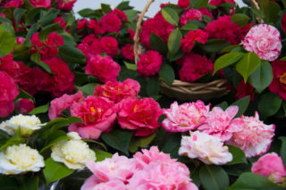 28 Different Types of Camellias