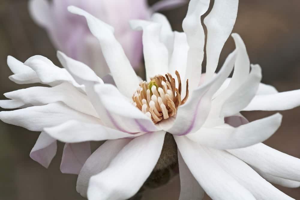 Centennial magnolia