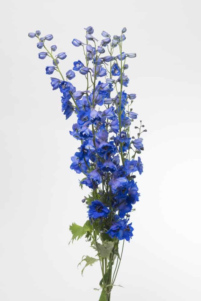 Centurion gentian blue delphinium