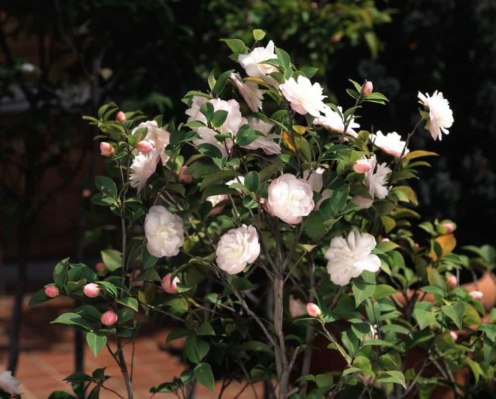 Cinnamon Cindy camellia