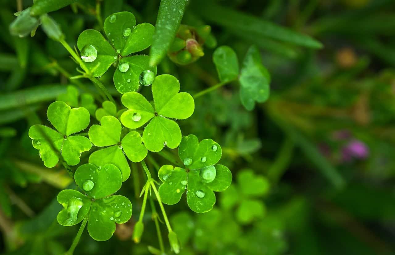 Clover plant.
