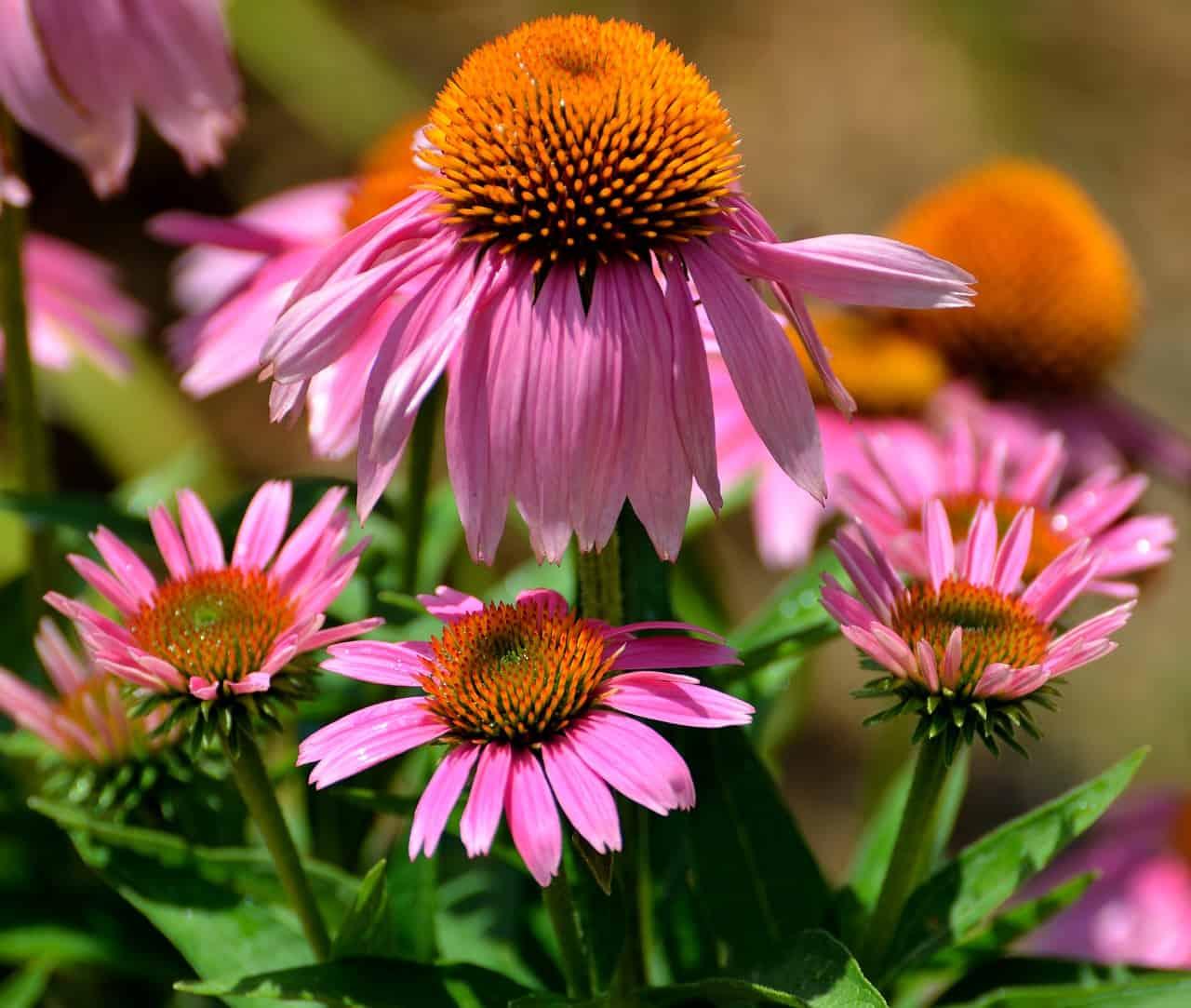 Purple cone flower.