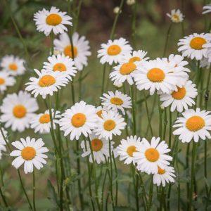 Daisy flower.