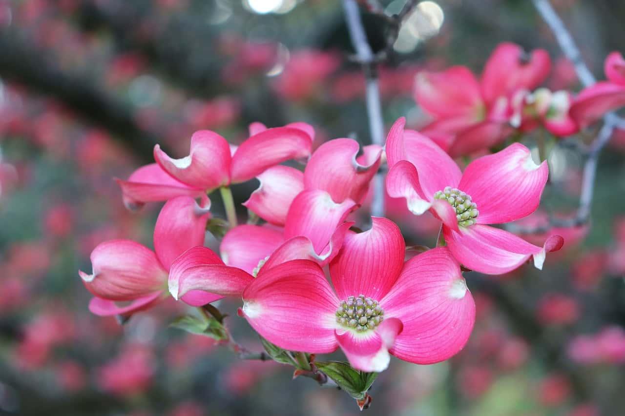Dogwood flower,