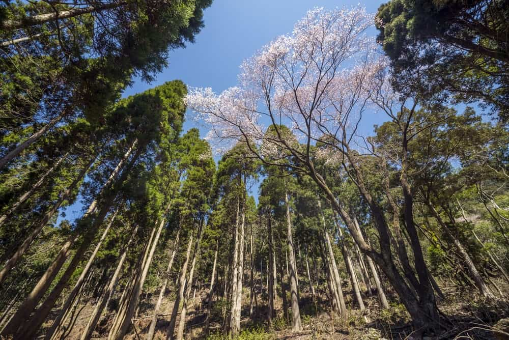 Edohigan cherry blossoms