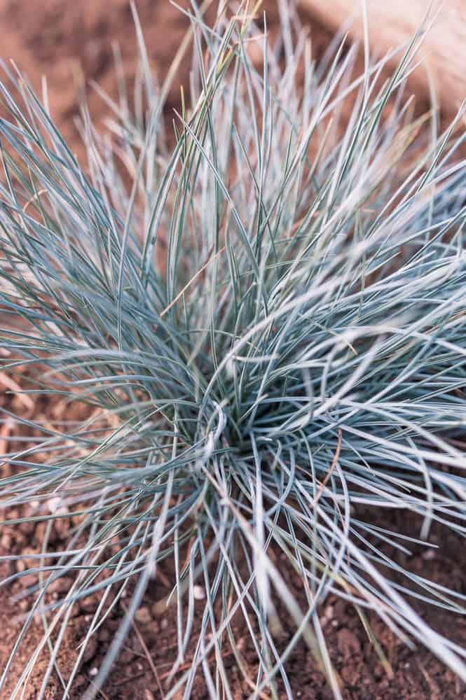 Elijah blue grass