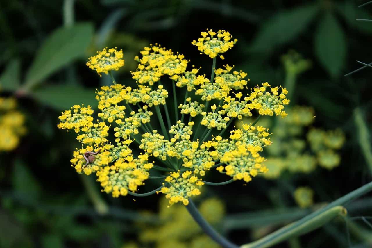 Fennel flower.
