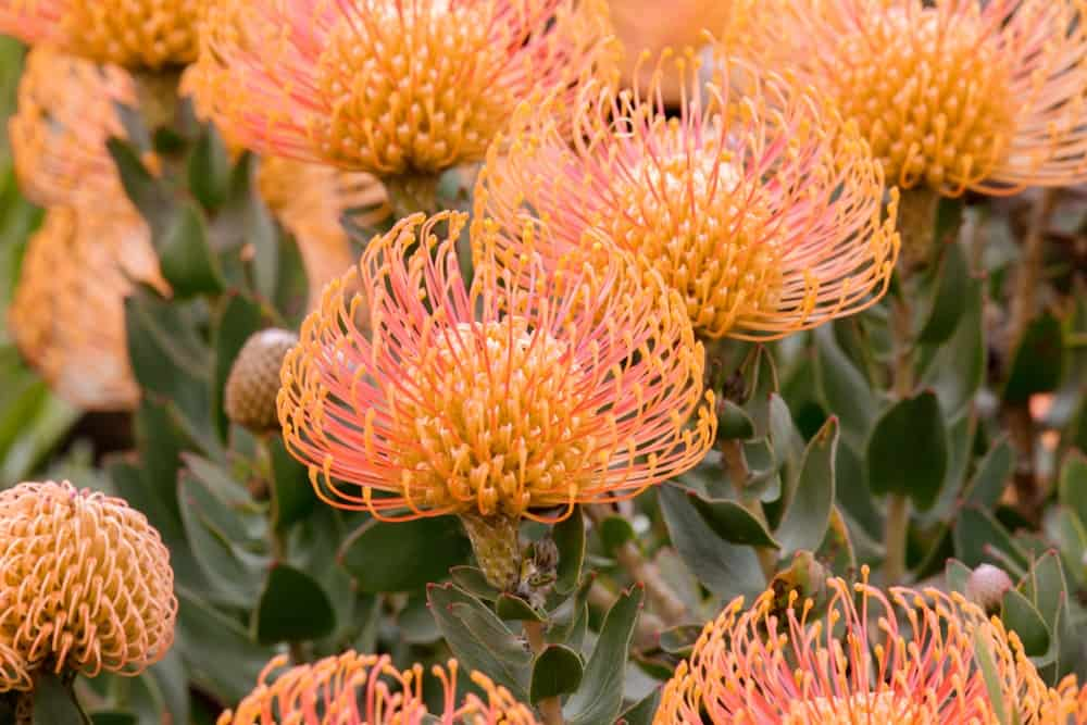 Flame giant protea