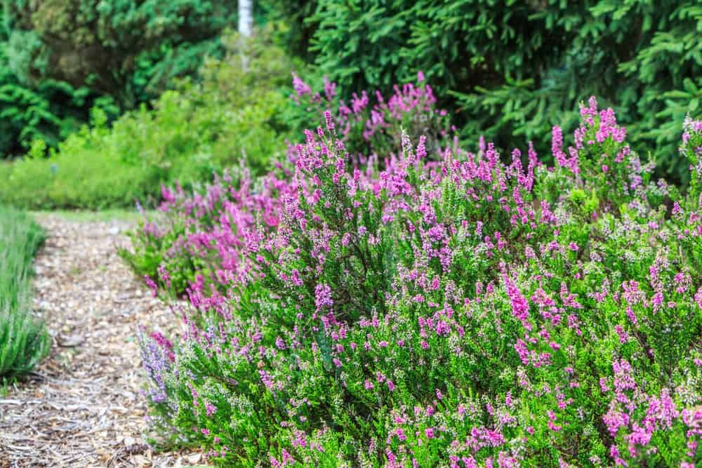 Foxhollow heather flowers