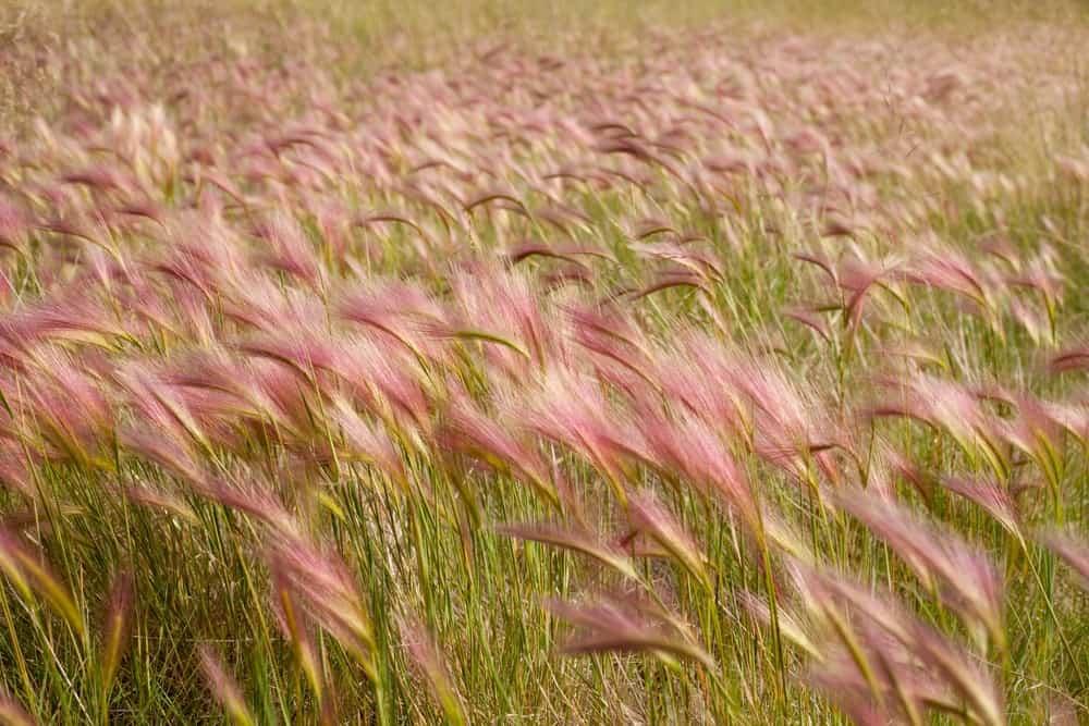 Foxtail barley grass