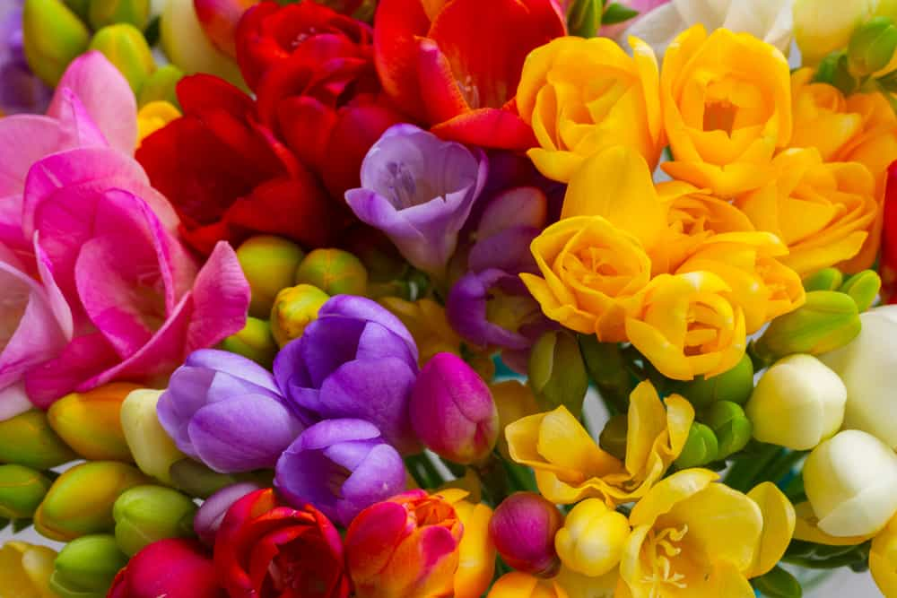 A bunch of multi-colored freesia flowers.