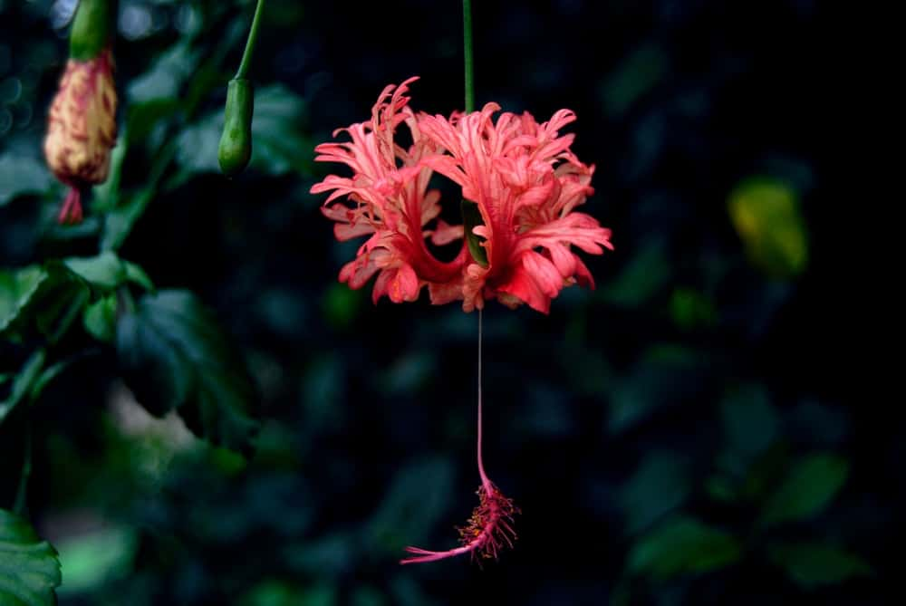 Fringed hibiscus