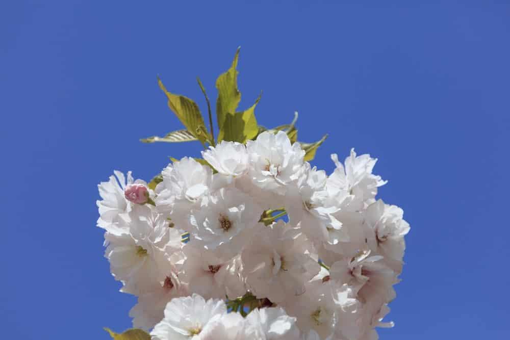 Fugenzo cherry blossom