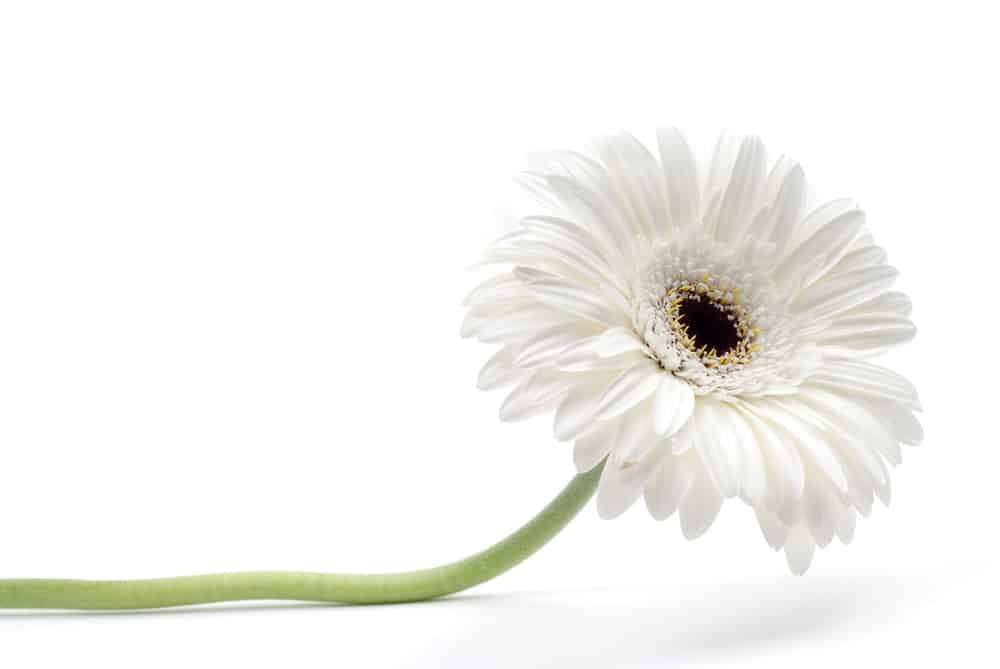 26 Different Types Of Gerbera Flowers And Interesting Facts